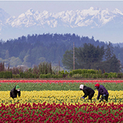 Migrant Workers in Tulip Fields